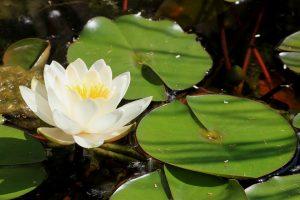 fiore di loto significato,